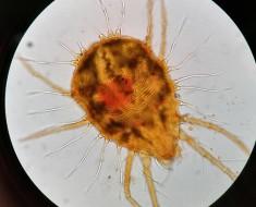 Az atkák új faját fedezte fel Kontschán Jenő Csákberényben